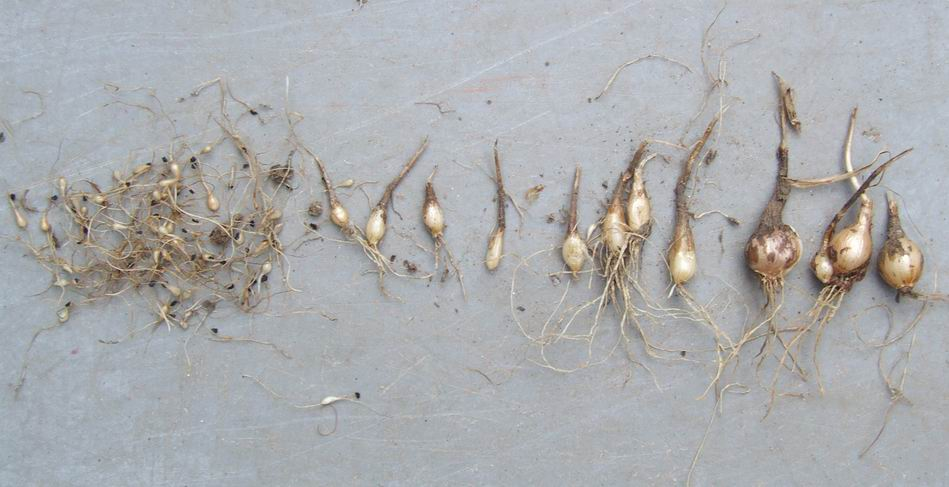 1000  images about Garden bulb leucojum aestivium Gravetye Giant ...