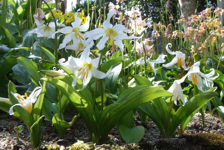 It Has Plain Shiny Green Leaves And Large White Flowers Whose Petals Twist Away Towards The Ends