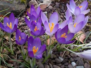 Crocus Weather And Then Some >> Scottish Rock Garden Club Early Crocuses