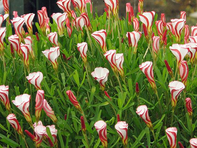 La vita tutta un click bulbi di oxalis come coltivarli - Bulbi estivi quando piantarli ...