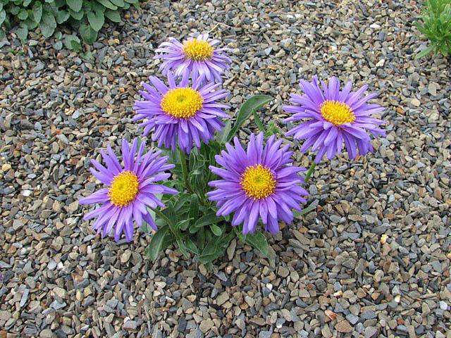 астра садовая, китайская астра) - это другое растение того же семейства - каллистефус. астра однолетняя.